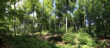 Panorama del bosque de la haya Fotos de archivo libres de regalías