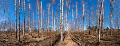 Panorama del bosque del abedul del otoño Imagenes de archivo