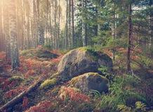 Panorama del bosque del abedul y del abeto Imágenes de archivo libres de regalías