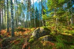 Panorama del bosque del abedul y del abeto Foto de archivo