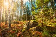 Panorama del bosque del abedul y del abeto Imagenes de archivo