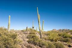 Panorama del cacto del desierto Fotografía de archivo