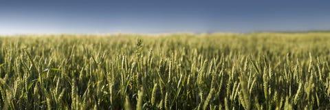 Panorama del campo con grano Fotografia Stock