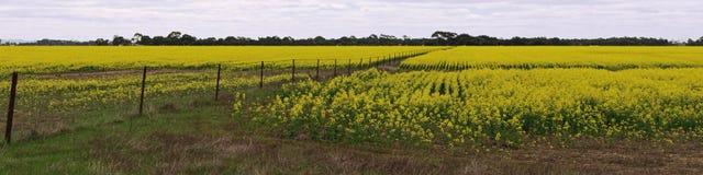 Panorama del campo de Canola Foto de archivo libre de regalías