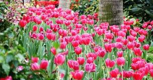 Panorama del campo de los tulipanes Fotos de archivo libres de regalías