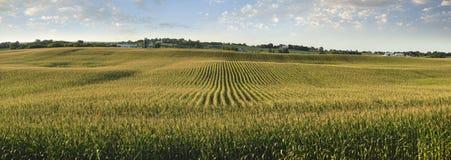 Panorama del campo de maíz en sol de la última hora de la tarde Imagen de archivo