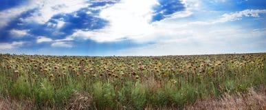 Panorama del campo dei girasoli maturati Fotografia Stock