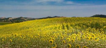 Panorama del campo dei girasoli in Toscana Immagine Stock Libera da Diritti