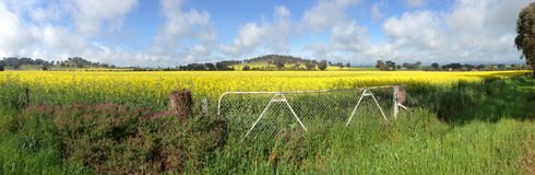 Panorama del campo del Canola de Cowra Fotografía de archivo libre de regalías
