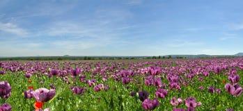 Panorama del campo del papavero Fotografie Stock Libere da Diritti