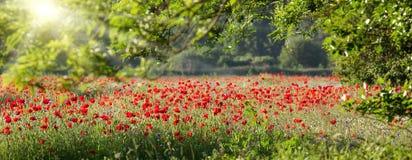 Panorama del campo del papavero in primavera Fotografia Stock