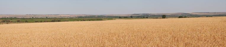 Panorama del campo di frumento fotografia stock libera da diritti