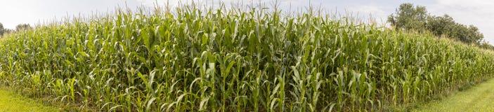 Panorama del campo di grano di estate Immagine Stock Libera da Diritti