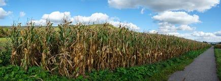 Panorama del campo di mais con il cereale dell'alimentazione nell'agricoltura Fotografia Stock