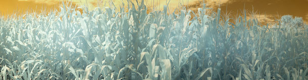 Panorama del campo di mais di estate nell'infrarosso Fotografie Stock Libere da Diritti