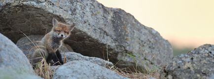 Panorama del cucciolo di Fox rosso Fotografia Stock