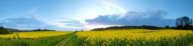Panorama del giacimento del seme di ravizzone Fotografia Stock Libera da Diritti