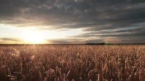 Panorama del giacimento di grano stock footage