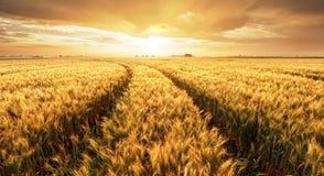 Panorama del giacimento di grano al tramonto fotografie stock