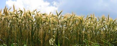 Panorama del granulo Fotografia Stock