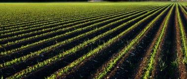 Panorama del maíz de bebé Foto de archivo libre de regalías