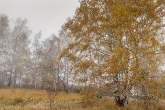 Panorama del otoño con las hojas amarillas del abedul y de la niebla, Bulgaria Imagenes de archivo