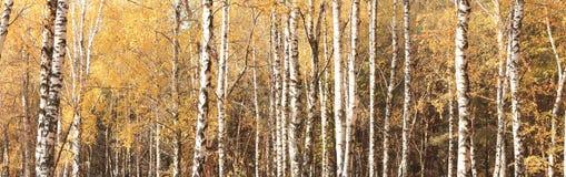 Panorama del otoño con los abedules amarillos en arboleda del abedul Fotos de archivo libres de regalías