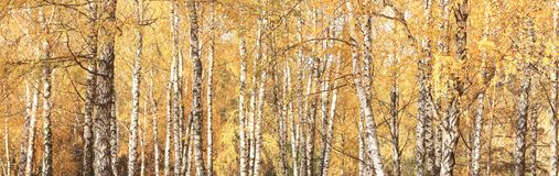 Panorama del otoño con los abedules amarillos en arboleda del abedul Fotografía de archivo