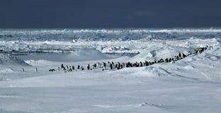 Panorama del pingüino Imagen de archivo libre de regalías