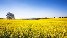 Panorama del prado de la flor de la violación Foto de archivo