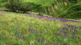 Panorama del prado de Salvia almacen de video