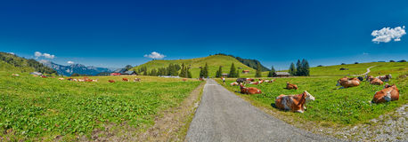 Panorama del prato alpino della montagna con le mucche Immagini Stock