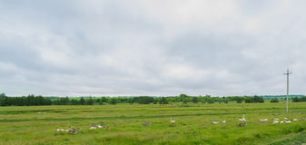 Panorama del prato rurale con il fiume e gli animali della foresta Fotografie Stock Libere da Diritti