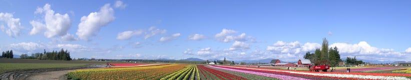 Panorama del tulipano Fotografia Stock