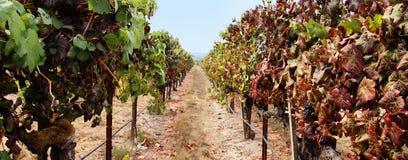 Panorama del viñedo Imagen de archivo libre de regalías