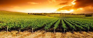Panorama del viñedo de la puesta del sol Foto de archivo