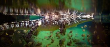 Panorama dell'alligatore Immagine Stock Libera da Diritti