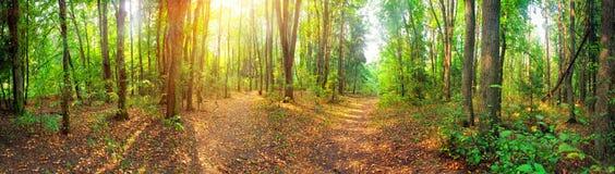 Panorama della foresta Fotografia Stock