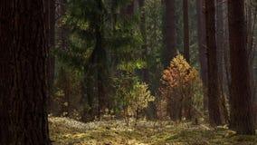 Panorama della foresta del ginepro e del pino stock footage