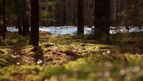 Panorama della foresta del muschio e del pino archivi video