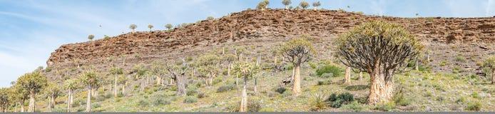 Panorama della foresta dell'albero del fremito a Gannabos Fotografie Stock