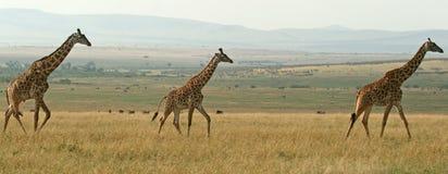Panorama della giraffa Fotografia Stock