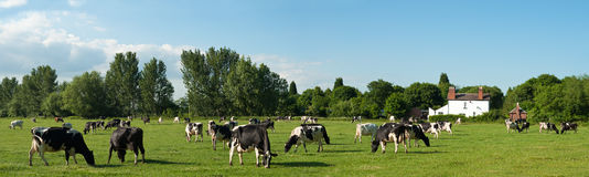 Panorama della mucca Fotografia Stock Libera da Diritti