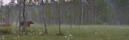 Panorama della palude con l'orso marrone Fotografia Stock