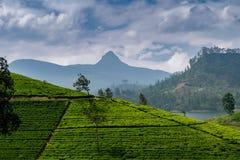 Panorama della piantagione di tè con il picco di Adams, Sri Lanka fotografia stock