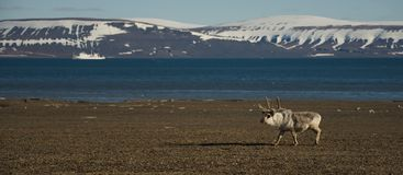 Panorama della renna e della nave in Artide Immagine Stock Libera da Diritti