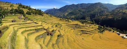 Panorama della risaia del terrazzo Fotografia Stock