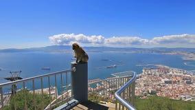 Panorama della scimmia di Gibilterra video d archivio