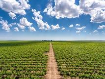 Panorama della vigna con le file delle iarde dell'uva e del plantat del vino rosso Fotografia Stock