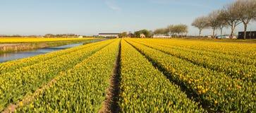 Panorama delle file dei tulipani di fioritura in vari colori fotografie stock libere da diritti
